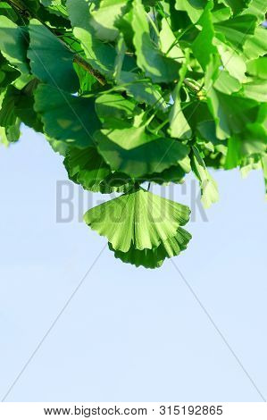 Green Leaves Of Ginkgo Biloba Against The Blue Sky, Pointing Downwards. Vertical Photo.
