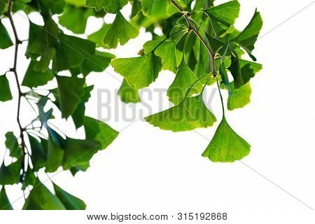 Ginkgo Biloba Tree With Green Leaves Isolated On White Background.