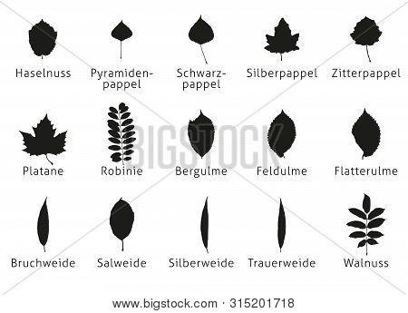 Leaves Foliage Vecto Poplar Silver Quaking Pyramidal Black