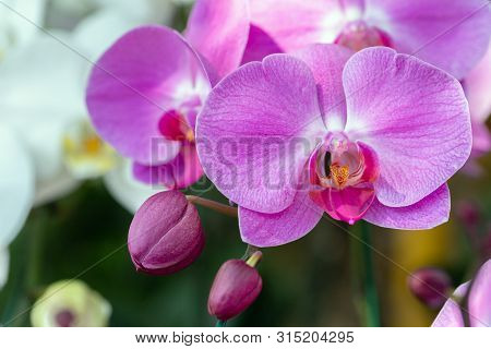 Orchid Nature Background. Nature Background Of Orchid. Flower Nature Background. Close Up Background