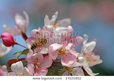 Bee on a Crabapple Blossom