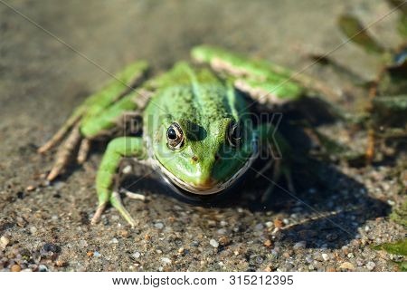 Green Marsh Frog River Coast Background, Camouflage Dots Amphibian Pelophylax Ridibundus. Up View, S