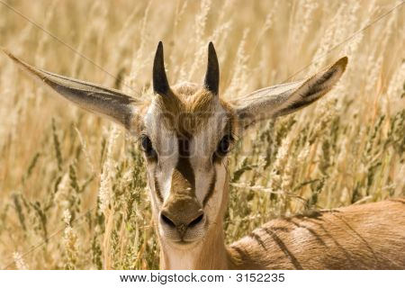 Young springbok in Kgalagadi Transfrontier Park in South Africa poster