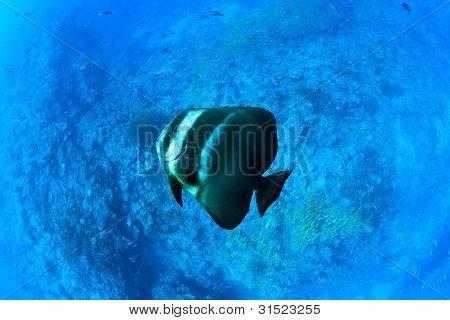 Platax Teira, Maldives - Ambient Light Without Flash