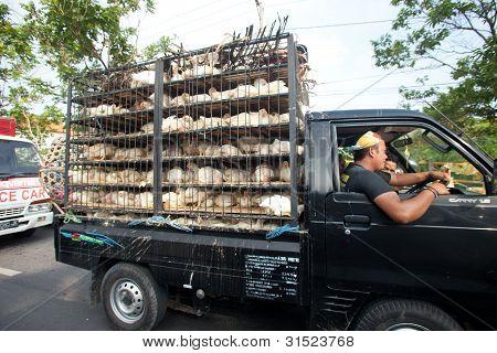 Huhn-Transport