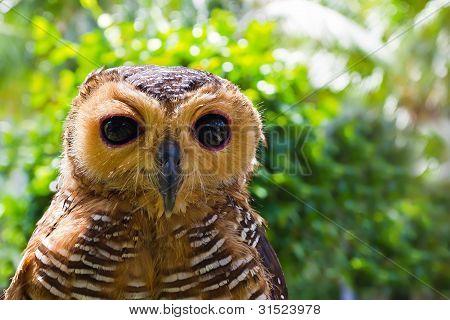 Owl Looking At Camera