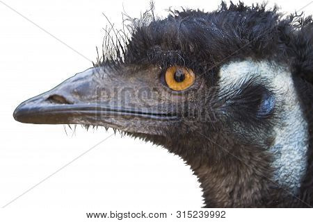Australian Ostrich Emu (dromaius Novaehollandiae) Close-up Portrait In Profile, Isolated On White Ba