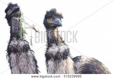 Australian Ostrich Emu (dromaius Novaehollandiae) Is Isolated On A White Background, Presented In Tw