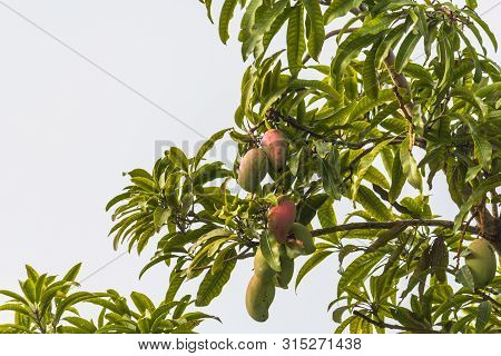 Some Ripe Mangoes On A Mango Tree