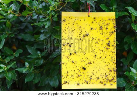Yellow Sticky Insect Trap Hanging On The Tree