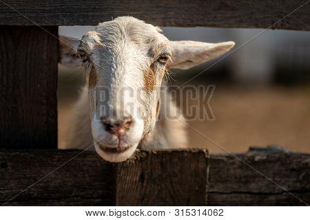 A Sheep In A Wooden Corral. Portrait Of A Cute Sheep. Sheep On A Farm. Sheep Farm