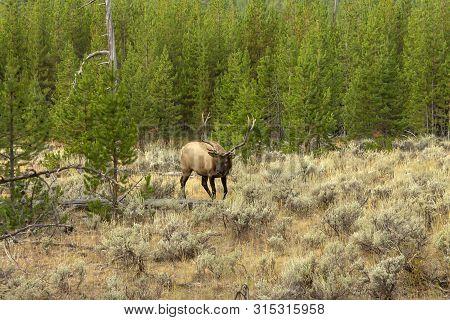 North American Elk.the Elk Or Wapiti (cervus Canadensis) In The Natural Habitat Before Hunting Seaso