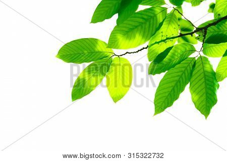 Green Leaf Isolated On White Background. Beautiful Leaf Texture In Nature. Natural Background. Close