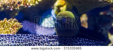 beautiful closeup portrait of a mediterranean moray eel, popular fish specie in aquaculture, tropical aquarium pet poster