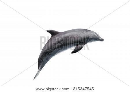 Grey Bottlenose Dolphin Isolated On White Background