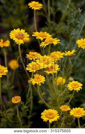 Yellow Flower Anthemis Tinctoria Also Called The Golden Marguerite, Oxeye Chatomile, Nature Many Gro