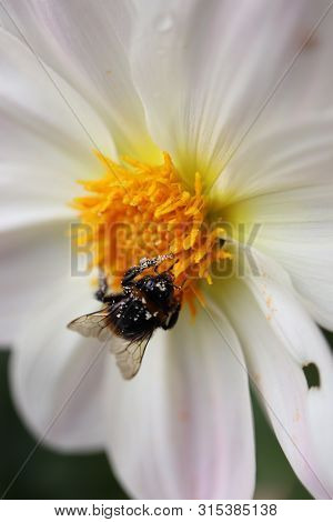 Large Fluffy Bumblebee Closeup.fluffy Bumblebee Collects Nectar On A White Gerbera.macro Photo Of A