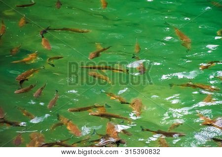 Lots Of Trout In Clear Water Of Wild Lake. Lovely Nature Background. Clean Environment Concept