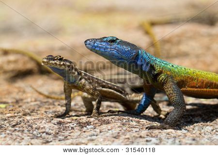 Matobo Lizards