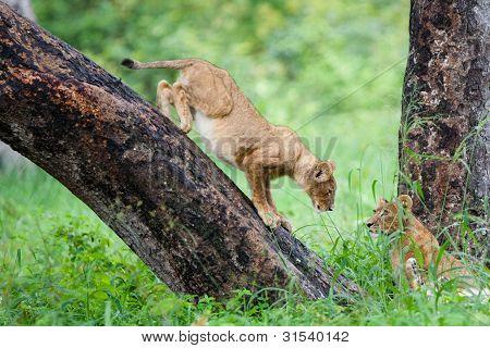Spielende Löwen Bärenjunge