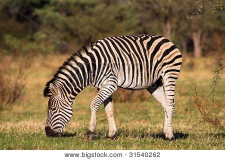 Fütterung zebra