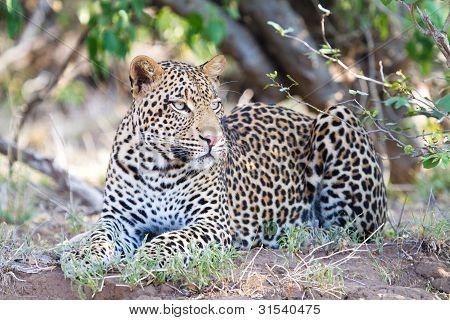 männlich leopard