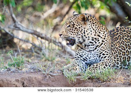 Junge männliche leopard