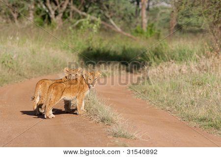 Baby Löwen