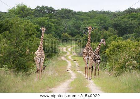 Hwange-Giraffe