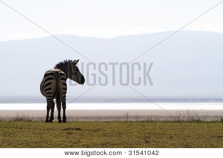 Zebra-Kontur