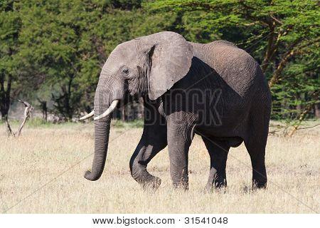 Stier Elefant