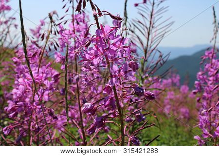 Fire Weed On The Slopes Of Marys Peak In Western Oregon.