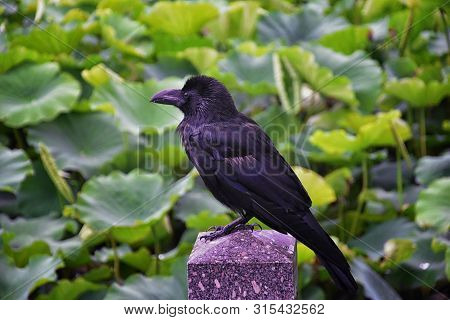 Raven (corvus Corax) Bird Common, Close-up Of A Beautiful Wild Black From Flying In Flight Then Perc