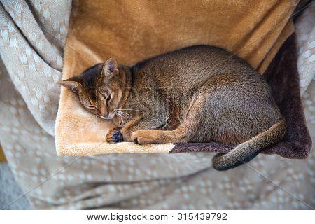 Cat Sleeps In A Hammock, In Winter. Warm Beige Plaid. Abyssinian Breed.