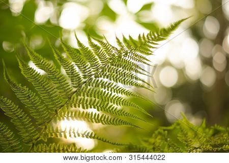 Green Fern Leaf With Seeds In Sunset Bokeh Light