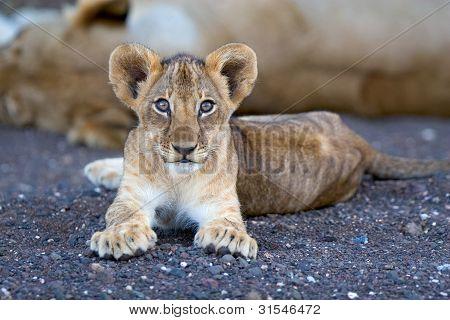 Löwenjunges im Flussbett