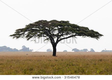 Serengeti-Akazie