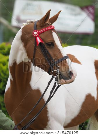 A head shot of a pretty part bred horse in the show ring. poster