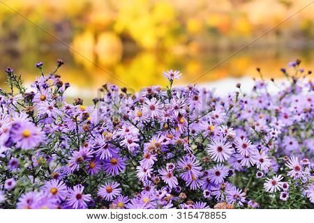 Lilac Or Purple Flowers On The Background Of Yellow Autumn Trees. Autumn Concept.