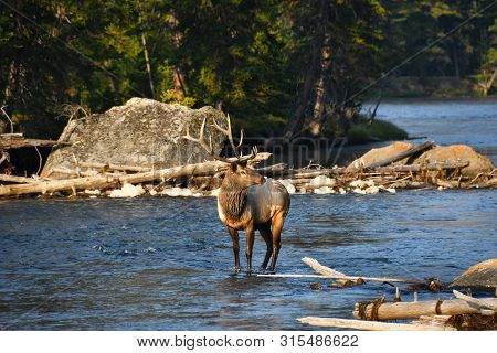 Bull Elk Standing In The Madison River, Yellowstone National Park.