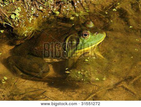 A bullfrog in a pond