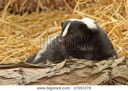 A Little Skunk