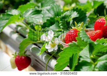Strawberry Farm In Japan. Ripe Strawberries In Bowl, Strawberries Flower And Strawberries Fruits On