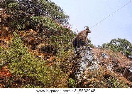 Himalayan Tahr In Its Natural Habitat, Everest Region