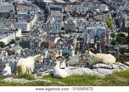 A Trio Of Wild Kashmiri Goats Perched On The Great Orme Headland High Above The Seaside Resort Town