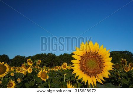 A Sunflower In A Field Of Sunflowers Under A Blue Sky With Space For Text