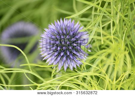 Globe Thistle Rests In Tangled Web Of Green.