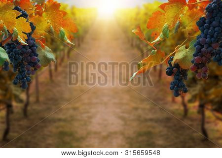 Grapes In Vineyard In Autumn Landscape. Winery Agriculture And Wine Tasting Concept.