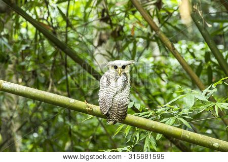 Owl, Spot-bellied Eagle Owl (bubo Nipalensis)  Forest Eagle-owl