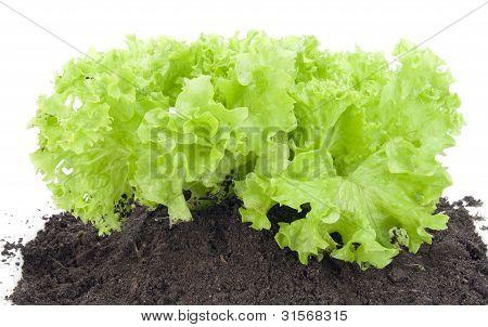 Green Bush Of Salad On Bed